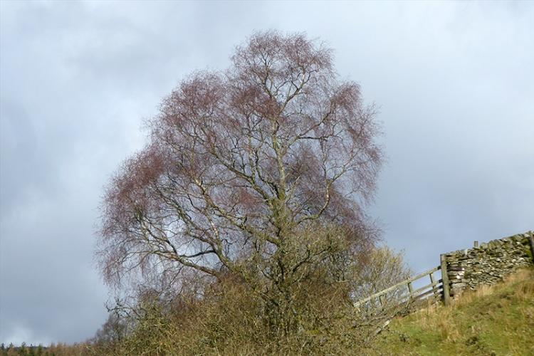 cleuchfoot tree