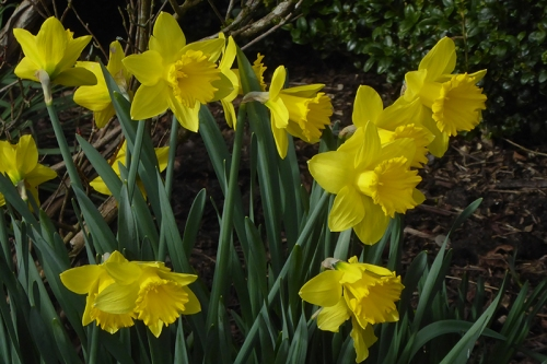 clump of daffodils