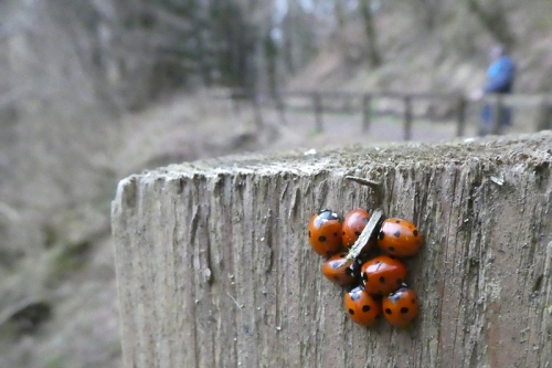 clump of ladybirds