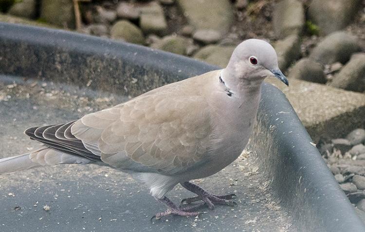 collared dove under feeder