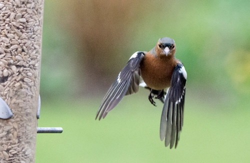 confused flying chaffinch