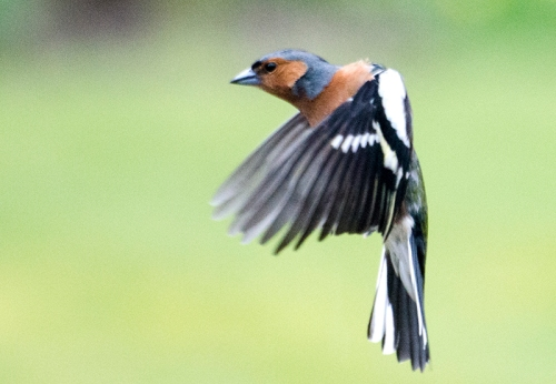 cricked chaffinch
