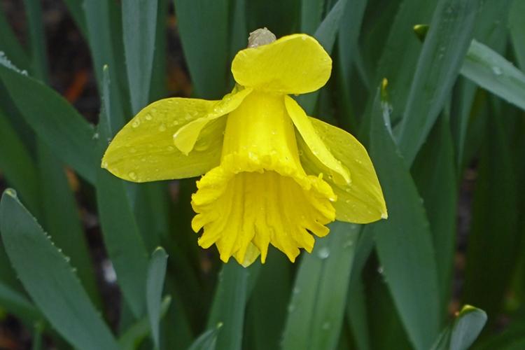 daffodil in wet