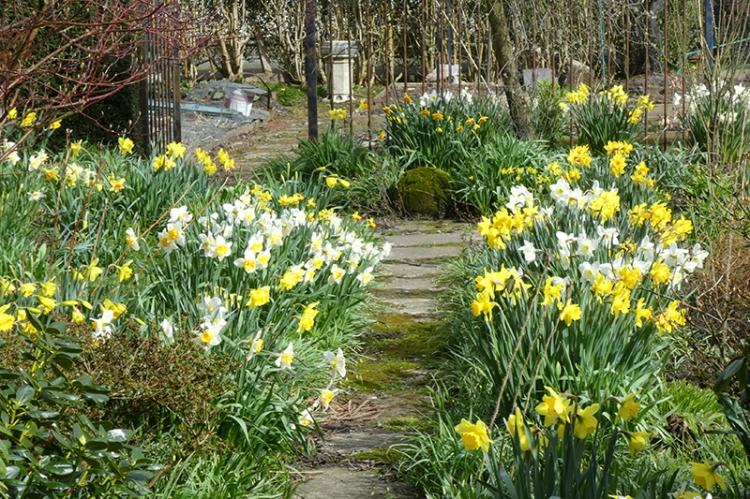 daffodil path