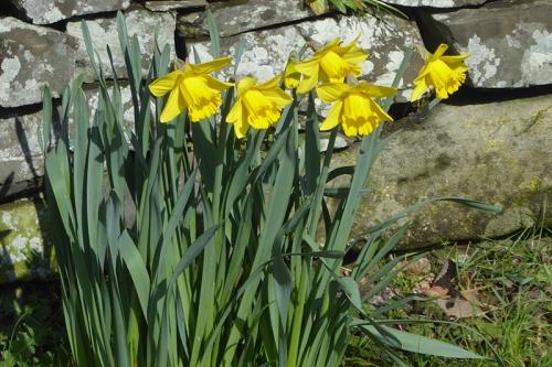 daffodils moodla point