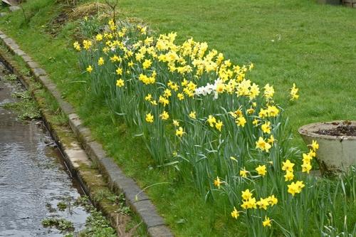dam daffodils