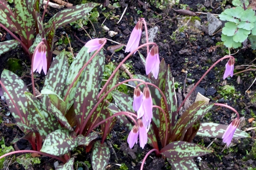 dog tooth violet