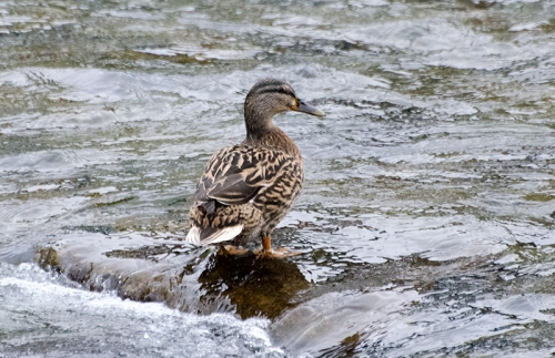 duck on a rock