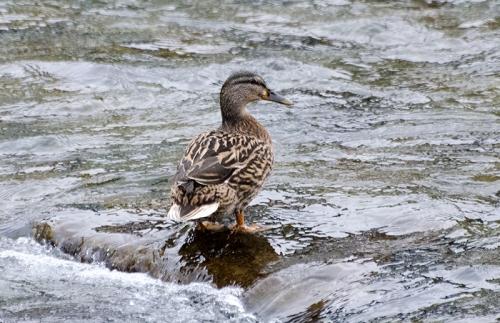 duck on a rock