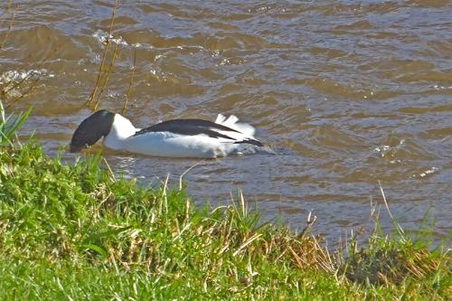 ducking goosander