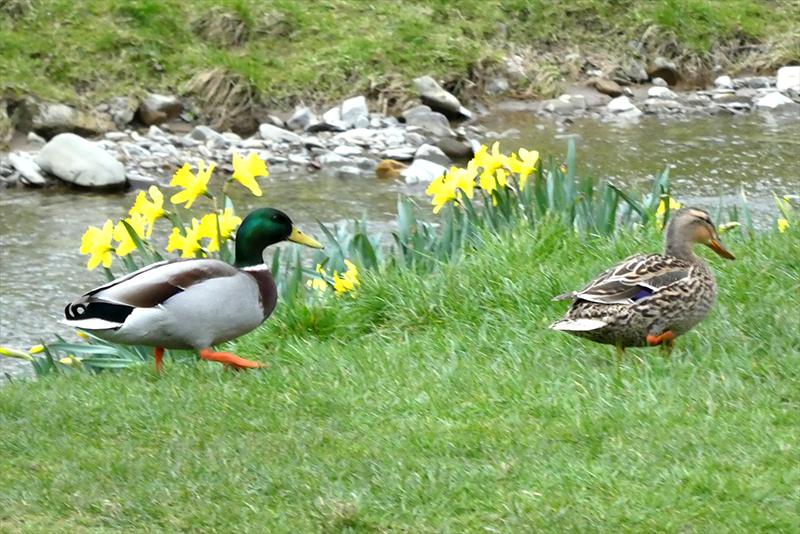 ducks sneaking off