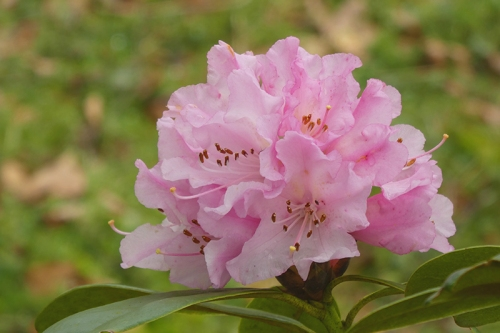 early rhodie