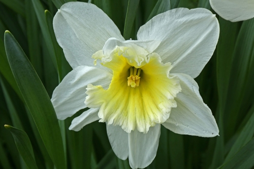 eaten daffodil