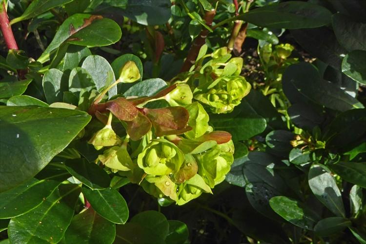 euphorbia first flowers