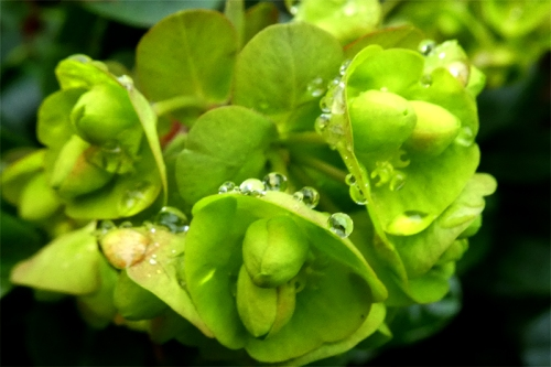 euphorbia with raindrops
