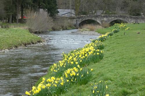 ewes water daffodils