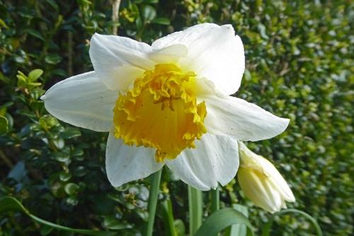 fancy daffodil