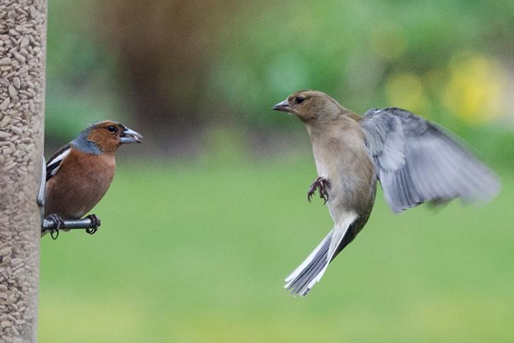 female chaffinch blown away
