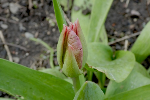 first tulip bud