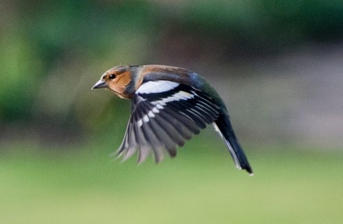 flyimng chaffinch horizontal