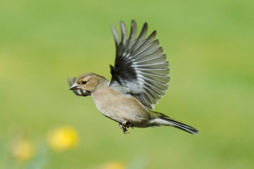 flying chaffinch female