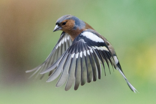 flying chaffinch male