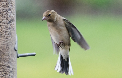 flying chaffinch vertical