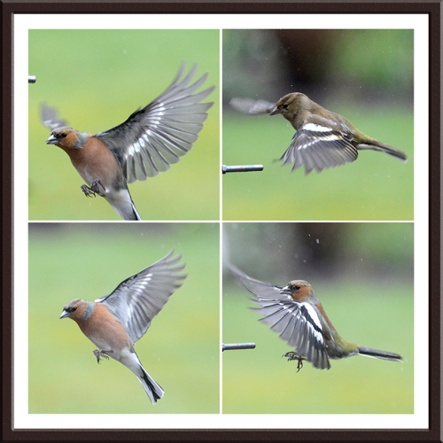 four chaffinches appraching