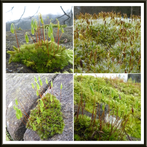 four mosses