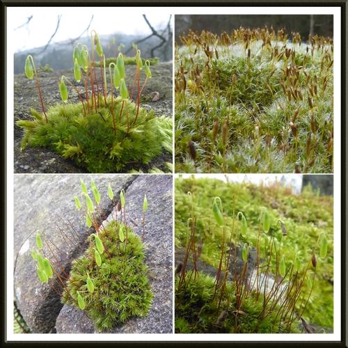 four mosses