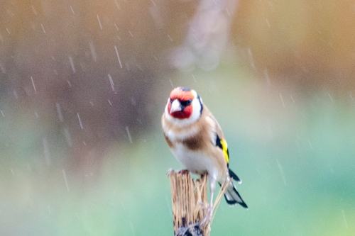 goldfinch in the rain