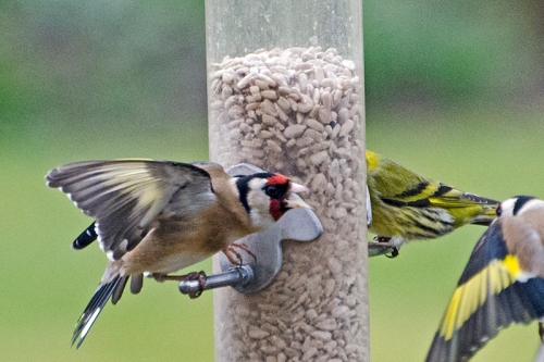 goldfinch shouting