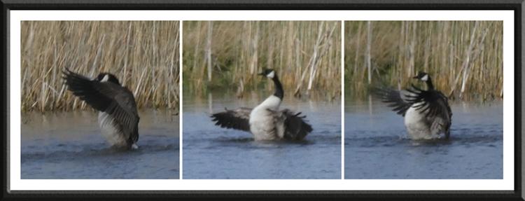goose inflating
