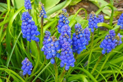 grape hyacinths very blue