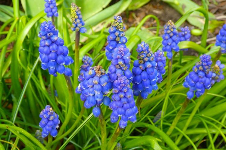 grape hyacinths very blue