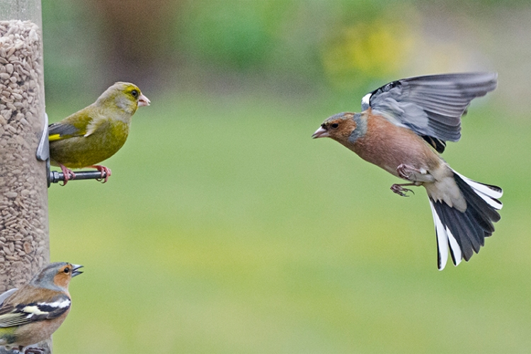 greenfinch staring out chaffinch