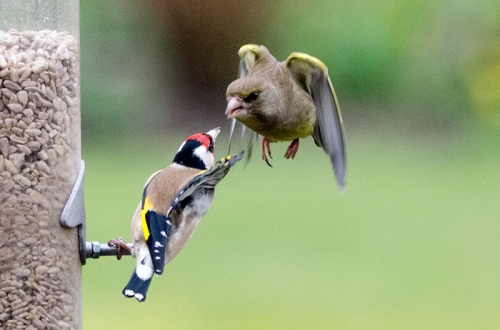 greenfinch threatening goldfinch