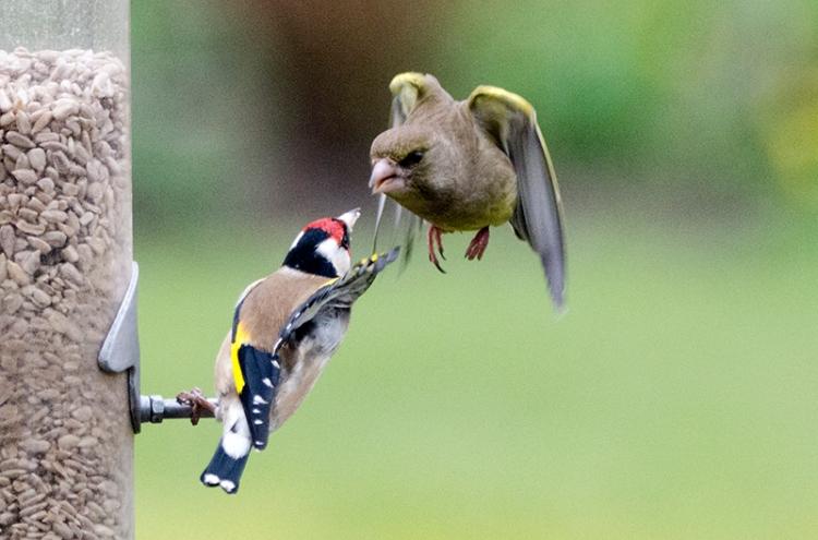 greenfinch threatening goldfinch