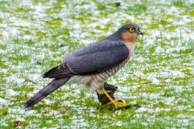 hawk on lawn with goldfinch