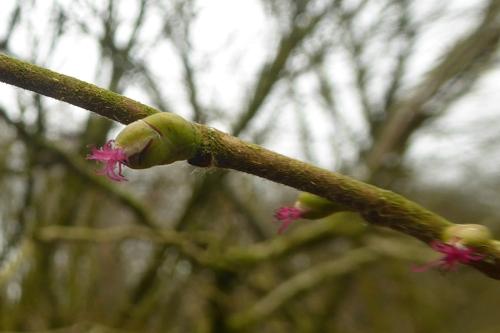 hazel flowers omn twig