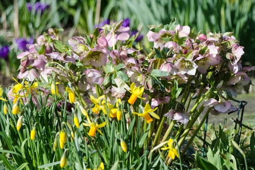 hellebore and daffs