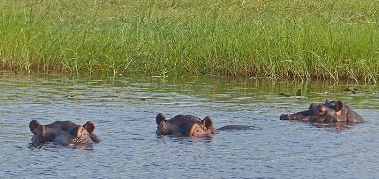 hippos,