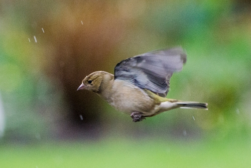 horizonal flying chaffinch