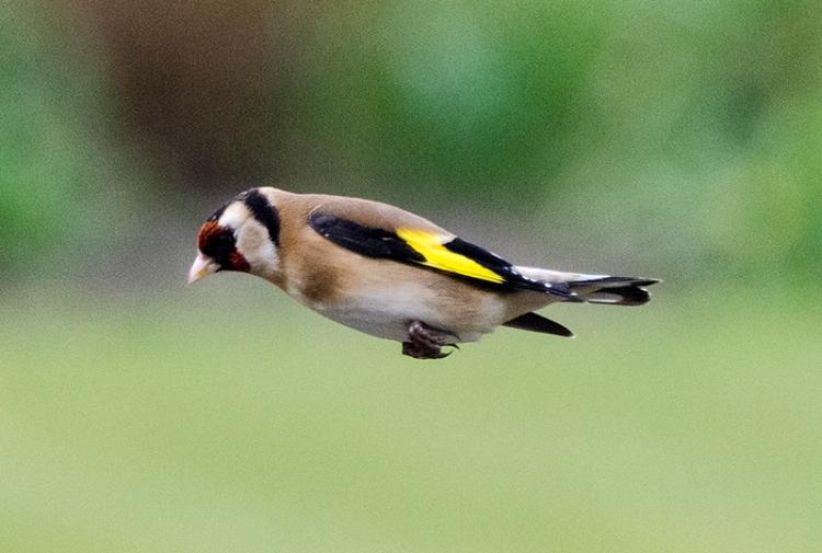 horizontal flying goldfinch