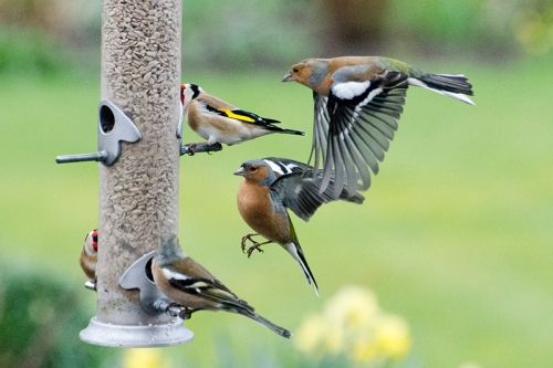 invading chaffinches