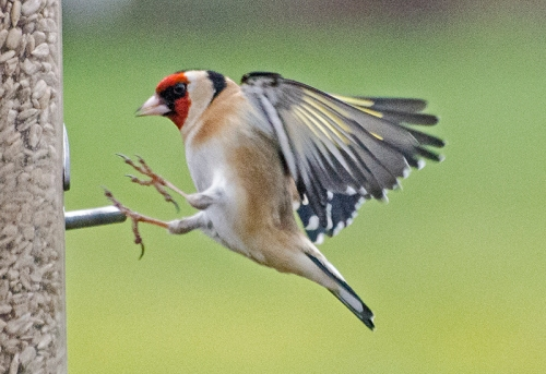 just flying goldfinch