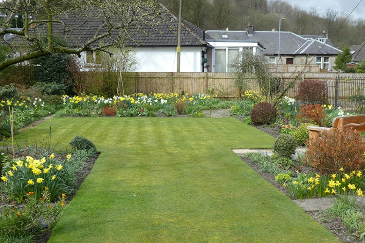lawn and daffodils