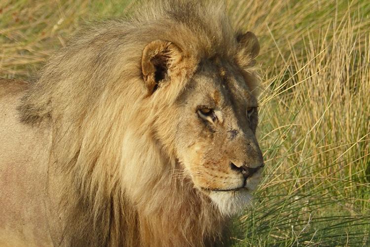 Lion,