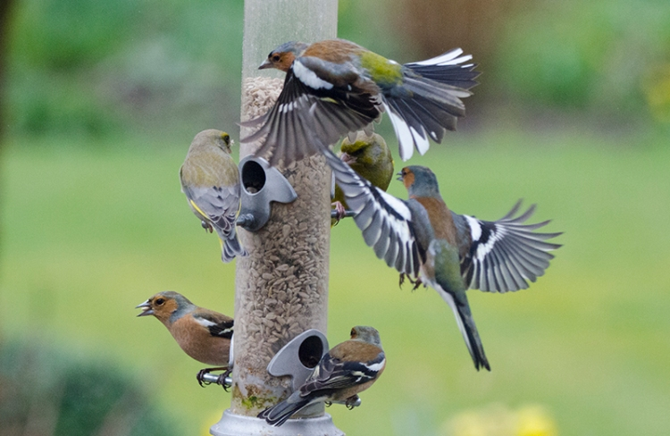 loads of chaffinches