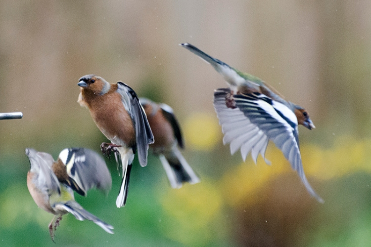 lots of chaffinches